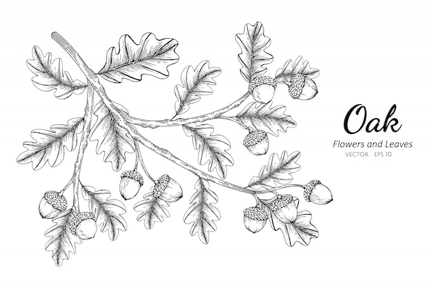 Oak nut and leaf drawing illustration with line art on white backgrounds.