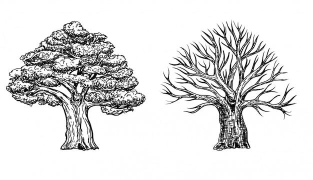 Дуб с листьями и дуб зимний без листьев. рисованной иллюстрации большого дерева, изолированные на белом фоне. дубовая корона в стиле эскиза.