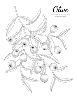 Oilve tree hand drawn botanical illustration with line art on white backgrounds.