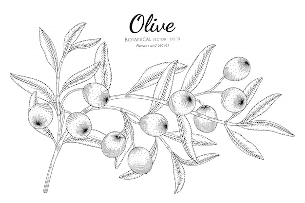 Oilve дерево рисованной ботанические иллюстрации с линией искусства на белом