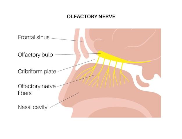 Анатомия обонятельного нерва Premium векторы