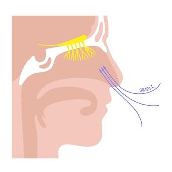 嗅神経の解剖学