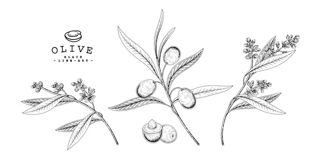 Olive botanical drawings.