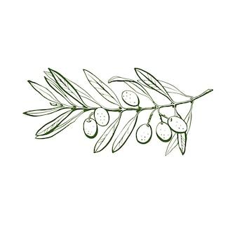 オリーブの枝は手描きです。白い背景の上のオリーブの枝のスケッチ