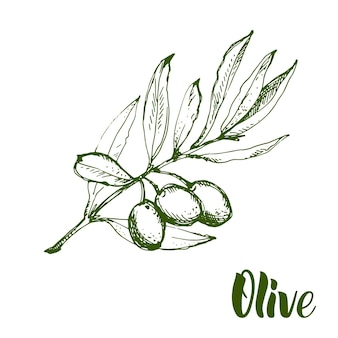 Olive branch is hand-drawn. sketch of olive branch on white background