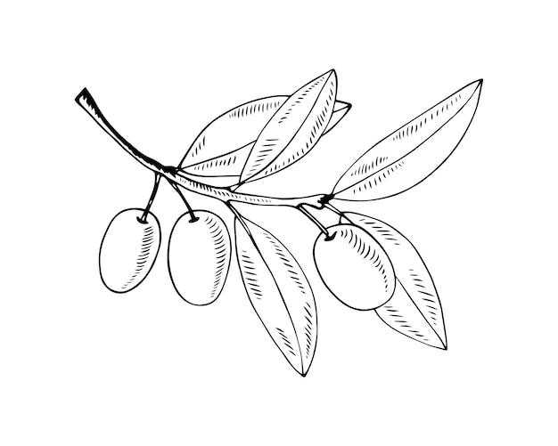 手描きスタイルの白で隔離されるオリーブの枝ベクトル輪郭図