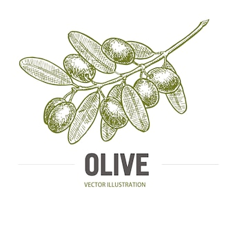 オリーブのスケッチとオリーブの枝。オリーブの枝のロゴ。オリーブ手描きの孤立した、葉が付いているヴィンテージオリーブの木。イタリア料理。