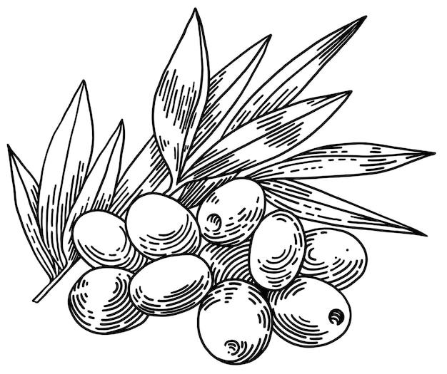 Оливковые ветви, изолированные на белом фоне