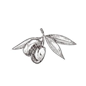 オリーブブランチヴィンテージ彫刻スタイルのイラスト。手描きスタイルのオリーブのイラスト。オリーブの小枝をスケッチする