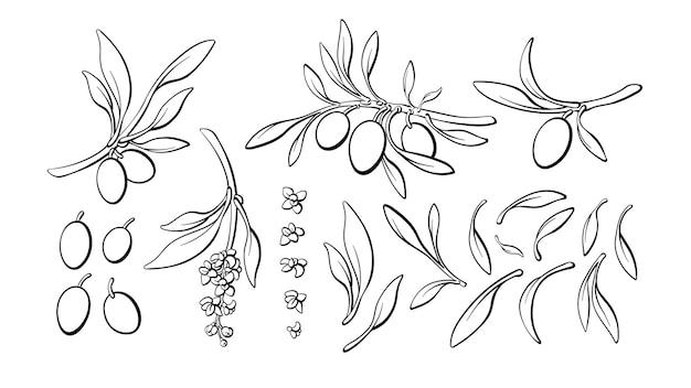 オリーブラインセット。自然の枝、果物、葉、花をスケッチします。分離株のコレクション