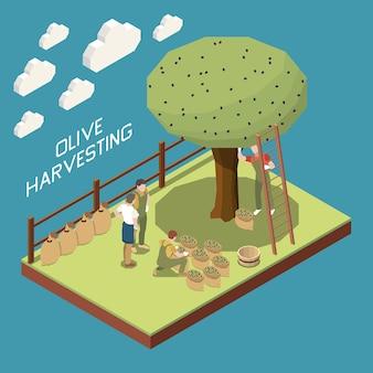 정원 섹션과 나무가 있는 올리브 생산 아이소메트릭 구성, 사람들이 천 자루에 수확물을 모으는 것