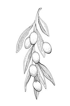 Оливковый эскиз. филиал иллюстрации. урожай рисованной черной линии искусства.