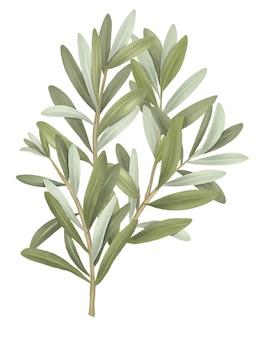 オリーブの木の枝の手描きの白い背景の上の孤立したイラスト