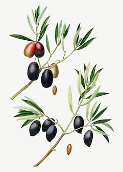 Olive tree branch