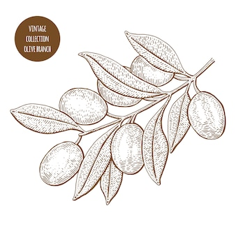 Olive tree. vintage botany vector hand drawn illustration isolated on white background. sketch style.