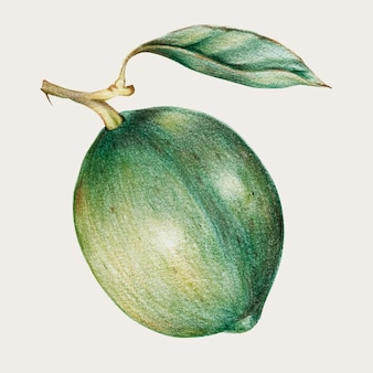 Olive vintage hand-drawn vector