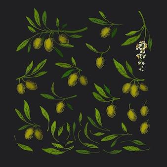 Оливковый винтажный набор. художественная иллюстрация. зеленая ветка, дикая листва, флора. урожай итальянской фермы