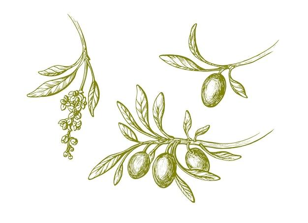 Оливковый винтажный набор. ботанический эскиз иллюстрации