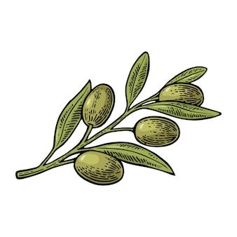 Olives on branch with leaves illustration