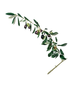 Olives from pomona italiana illustration