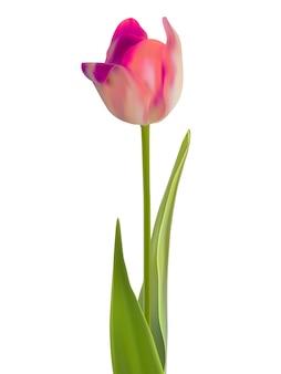 하나의 핑크 꽃 흰색 절연입니다.