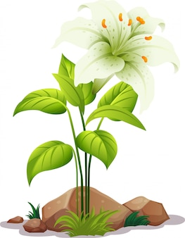 One white lily with leaves on white