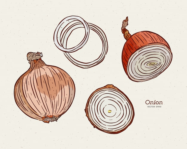 Onion, hand draw sketch.