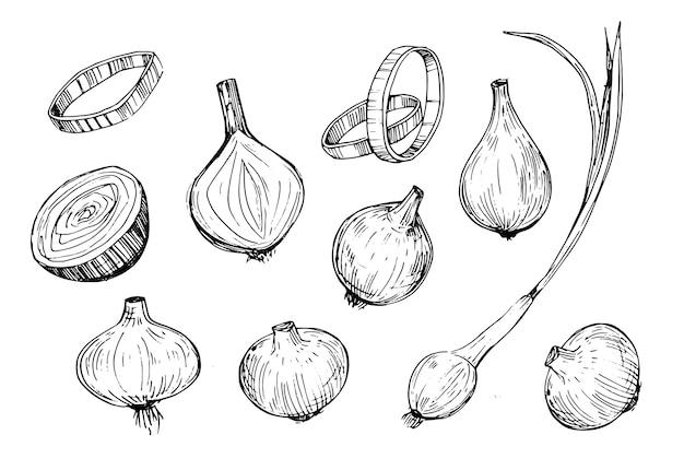 タマネギのスケッチ。手描きのイラストレーション。