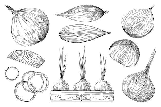タマネギのスケッチ。手描き下ろし野菜鍋、全体、スパイスの半分と4分の1部分切り抜きスライス電球、オニオンリングスケッチセット。詳細なベジタリアン料理の刻印スタイルオブジェクトイラスト