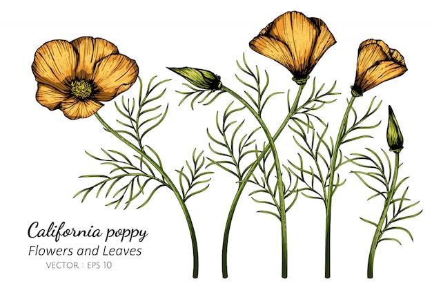 オレンジカリフォルニアポピーの花と葉のイラストを描く