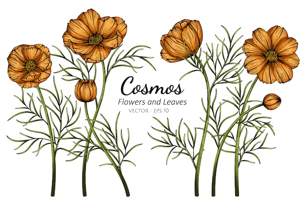 Orange cosmos flower and leaf drawing illustration with line art on white backgrounds.