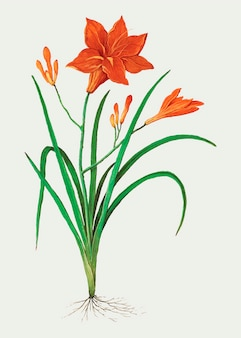 Orange daylily in vintage style