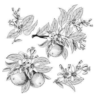 Orange fruit with leaves branches blooming flowers in engraving style