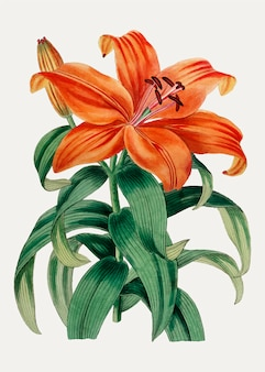 Orange lily sukashiyuri