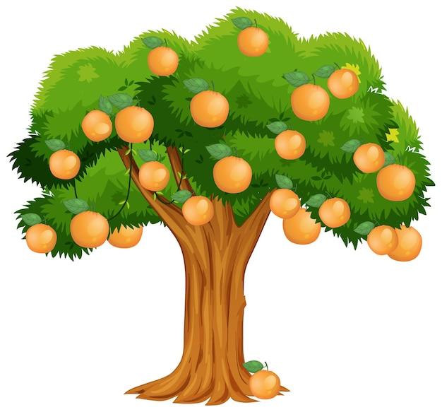 흰색 배경에 고립 된 오렌지 나무