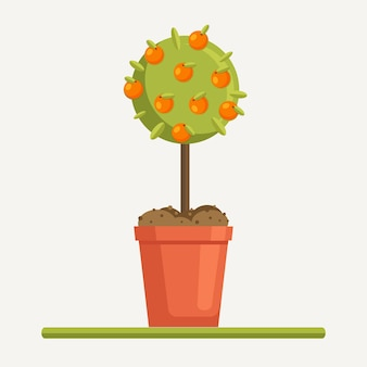 Orange tree with fruits in pot with ground, soil. planting sapling