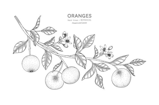 Oranges fruit hand drawn botanical illustration with line art.