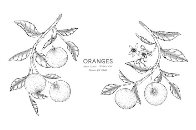 오렌지 과일 손으로 그린 식물 삽화와 라인 아트.