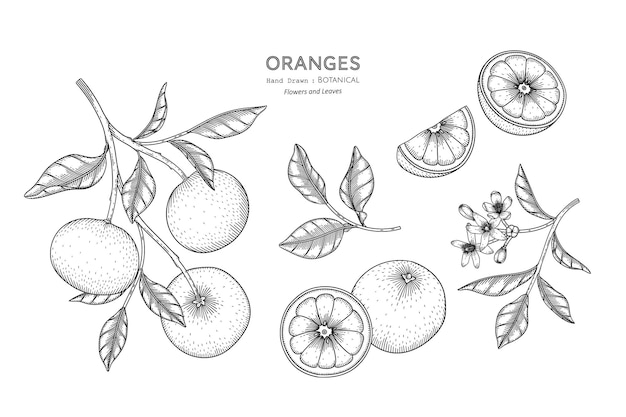 Апельсины фрукты рисованной ботанические иллюстрации с линией искусства.