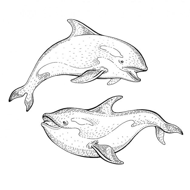 Orcaシャチのスケッチ、ヴィンテージのイラスト。世界海洋デーの海の動物アート。