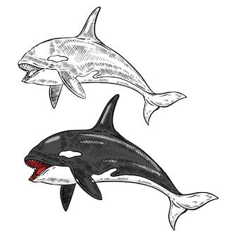 白い背景のシャチクジライラスト。図