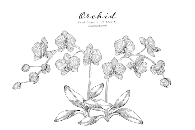 Orchid flower and leaf hand drawn botanical illustration with line art.