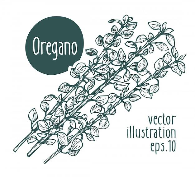 Oregano branch. vector hand drawn illustration.