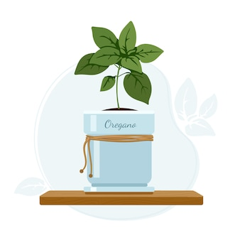 Oregano or sweet marjoram flowering plant in mason jar on kitchen window sill. culinary and dietary supplement herbs.