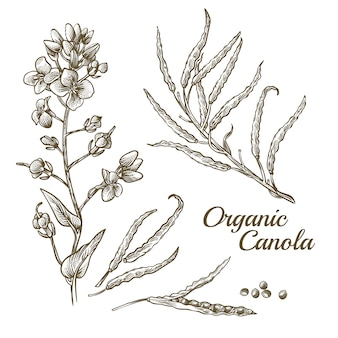 Organic canola flower with branch illustration