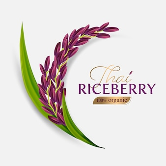 Organic paddy rice, ear of paddy, ears of thai riceberry rice isolated illustration