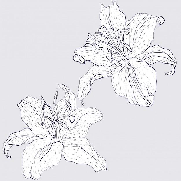 Восточные лилии