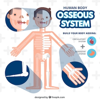 Osseous system