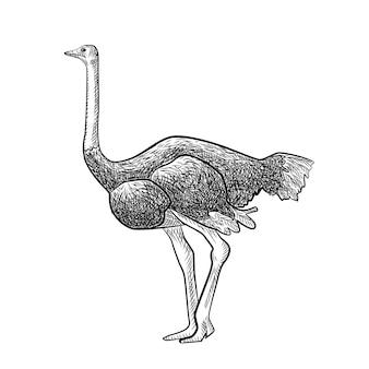 Страус, изолированные на белом фоне. эскиз графической большой птицы саванны в стиле гравюры. дизайн ретро черно-белый рисунок. векторная иллюстрация.