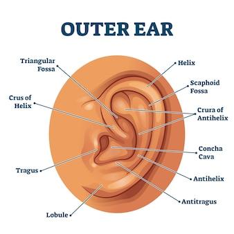 外耳解剖学的構造教育スキーム。人間の感覚器官のラベル付き図。三角形の窩、らせん、耳珠、小葉、およびコンチャキャバの位置の孤立したクローズアップ。